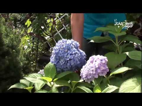 """Голубые гортензии   как сохранить цвет. Сайт """"Садовый мир"""""""