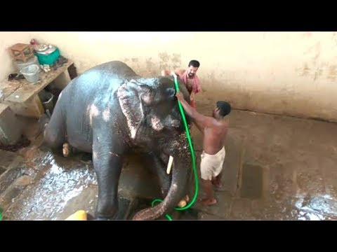 Puducherry temple elephant Lakshmi takes a shower indoors this year