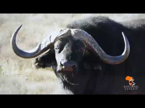 Cape Buffalo Hunting and other Big Game Hunting in Africa with Boschnel Safaris