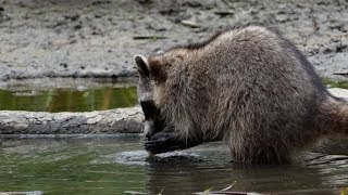 Raccoon at Forest Lake - 09 - 4K | Stock Footage - Videohive