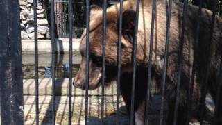 Большие медведи. Зоопарк Новосибирский. Bears. Смотреть интересное видео про животных.(Большие медведи Зоопарк Новосибирский. Бурый медведь Отряд хищные Семейство медвежьи Распространен..., 2016-10-25T03:16:14.000Z)