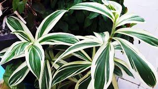Dracenas Plantas Fáceis de Cuidar
