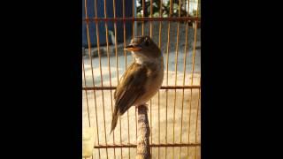 Sikatan londo kawe bunyi ( Brown-chested Jungle Flycatcher )