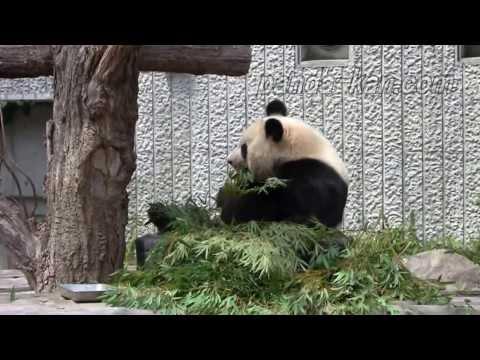 Pandas / Панда - Zoo Park in Wakayama Prefecture, Japan / Зоопарк в префектуре Вакаяма, Япония
