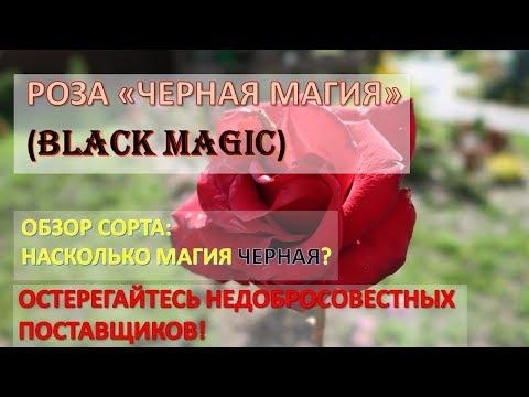 """Роза """"Черная Магия"""" (Black Magic): насколько магия черная? / Обзор сорта / Плохие поставщики"""