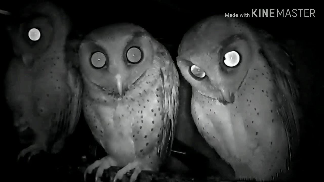 Suara Burung Hantu Serak Bukit Obay Youtube