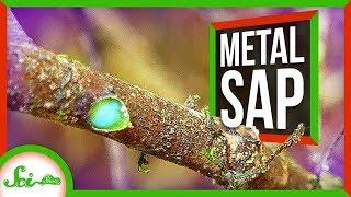 This Tree Oozes Metal Sap