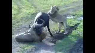 Animal fights Animal attacks. Please Subscribe My Channel: ❤ チャン...