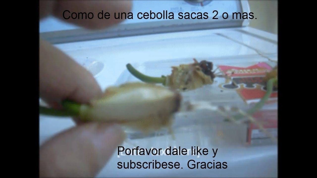 como hacer mas Cebollas con la parte que botas - YouTube