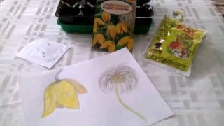 Размножение семенами многолетников.клематис тангутский
