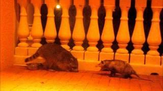 Raccoon vs Possum