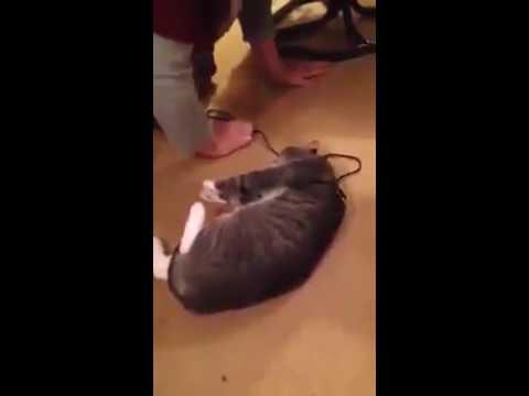 Lucu!!!!  Kocak Abis, Seekor Kucing yang sangat cerdas, berpura pura pingsan