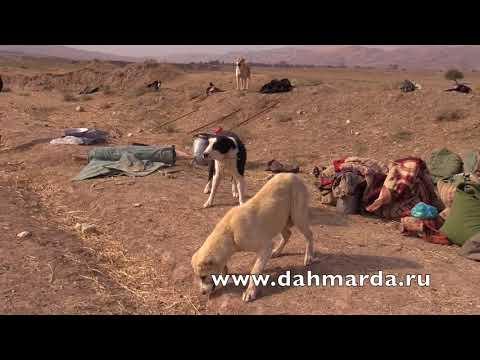 видео: Настоящие гиссарские овцы и аборигенные САО Таджикистана   саги дахмарда из Кабадияна!