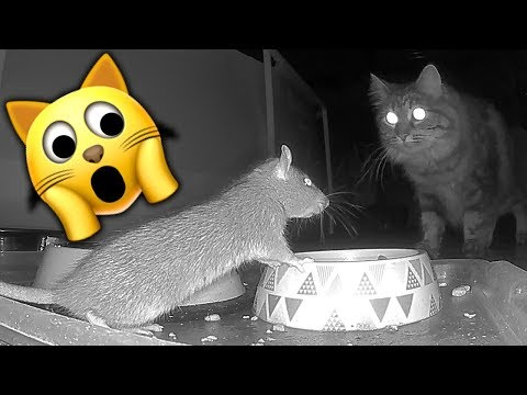 Rats That Eat Cat Food Caught On Arlo Camera Rat 1 Catch & Release