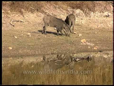 Sounder of Wild pig grazing at Bandhavgarh waterhole