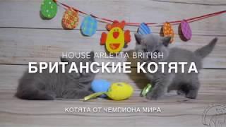 Британские котята, 2 месяца