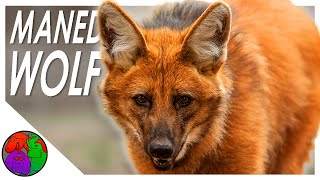 Maned Wolf || A Fox on Stilts and the Deforestation of its Home