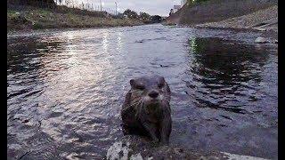 One morning walk [Otter life Day 152] とある日の朝の散歩