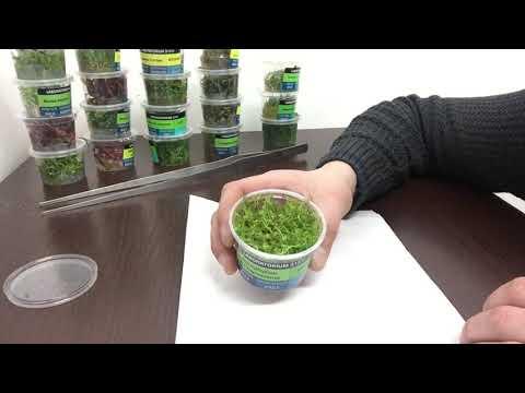 Обзор, Аквариумное растение Перистолистник матогросский зеленый (MYRIOPHYLLUM MATOGROSSENSE)