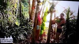 Les marseillais en thaïlande, un arbre ça souffre?