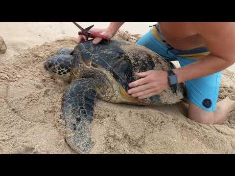Turtle rescue.