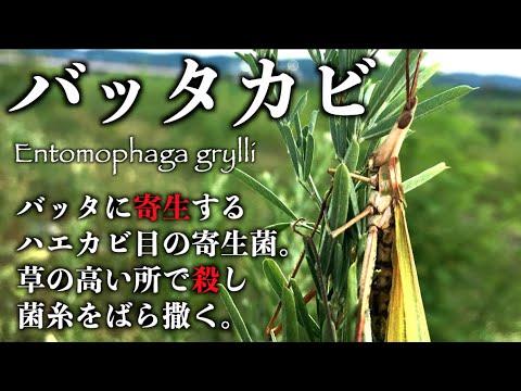 だ むし いき 岡 寄生虫の動画がすごい!むし岡だいき(富岡大輝)は、歌でも凄かった!