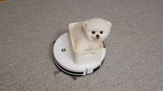 로봇청소기 태워달라고 조르는 아기 강아지 (퐁키랜드)