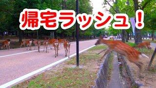奈良公園 帰宅ラッシュ!道路を渡る鹿さんたち deer of nara park