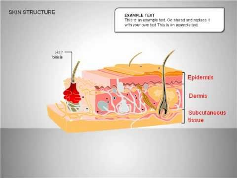 Skin Structure Diagrams - YouTube