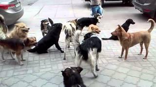 Стая бродячих собак в центре Сум