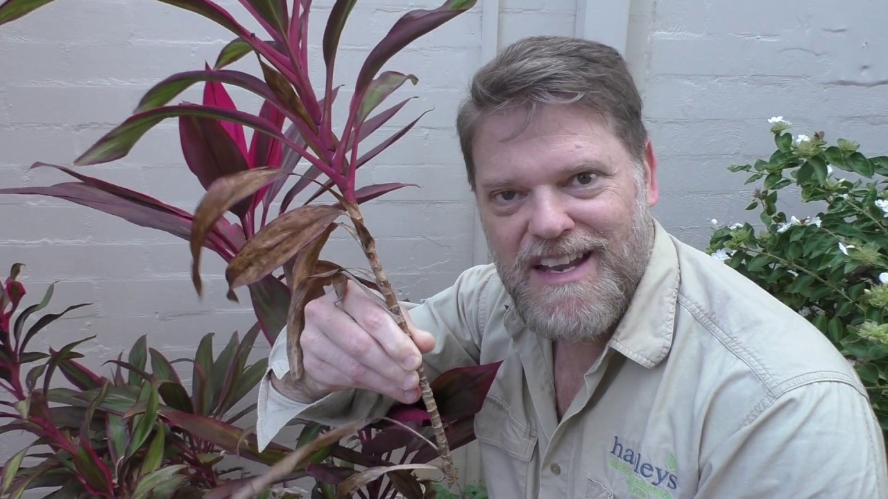 How To Grow A Cordyline From Cuttings And Growing Tips Youtube