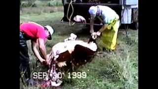 Slaughtering two cows in 30 min Part 1