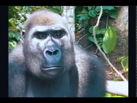 Getting To Love Gorillas Part 2