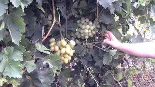 Айсар, новый сорт винограда очень раннего срока созревания. Красохина СИ