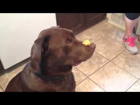 Dog Treat Trick – Chip eats a cookie balanced on nose