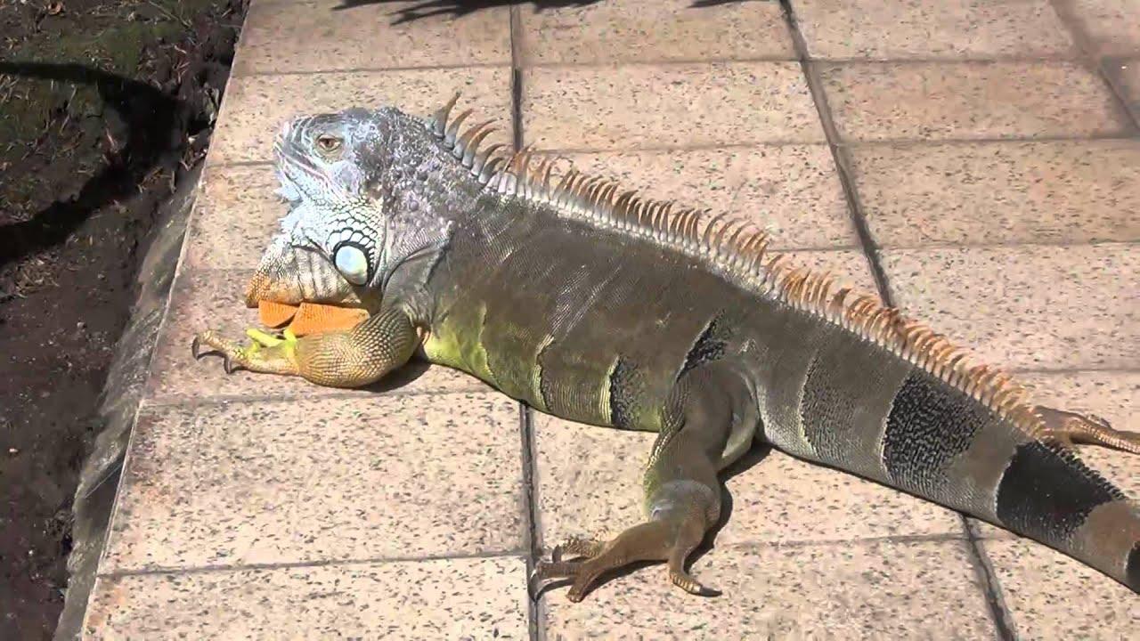 Iguana From Orange To Black In Minutes