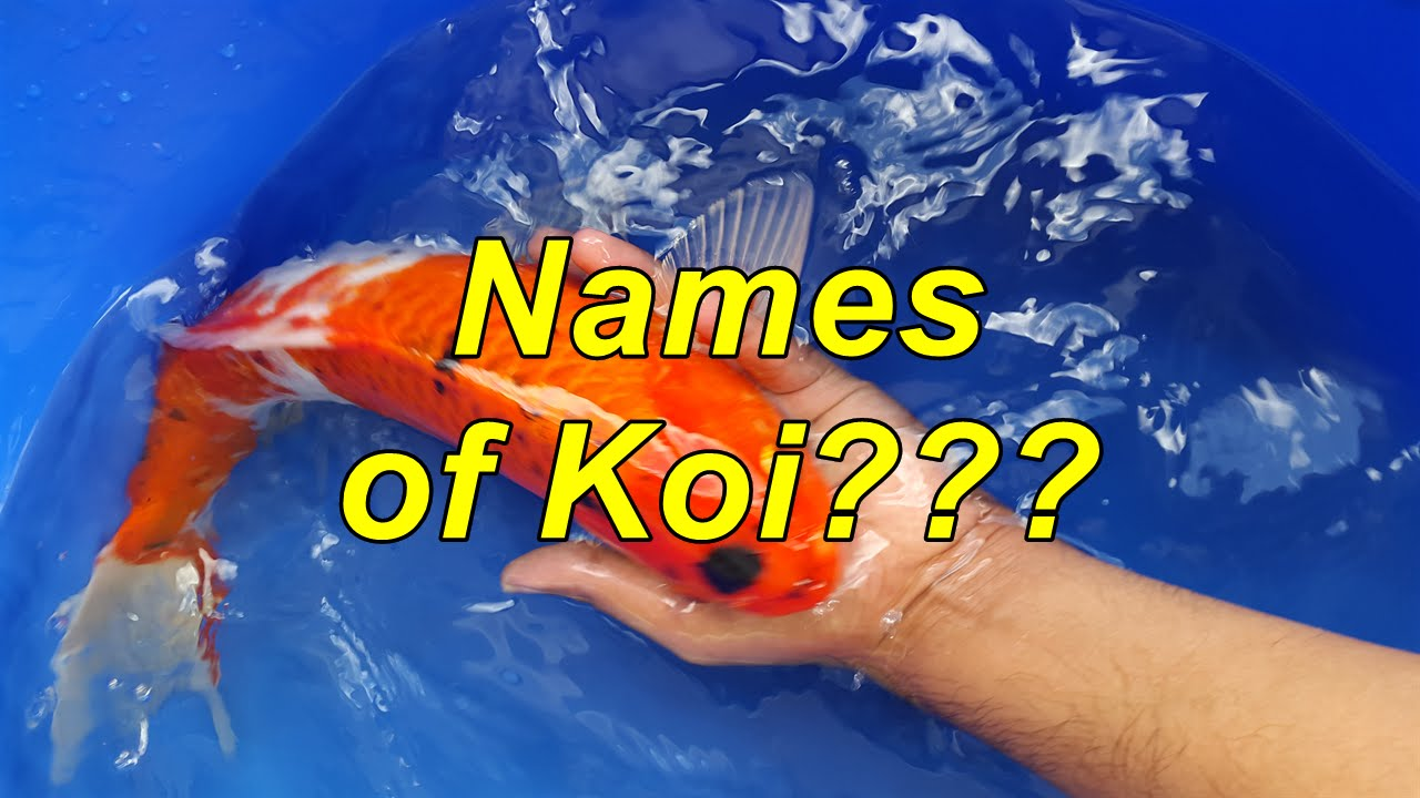 How to identify and name different types of koi youtube for Japanese koi names