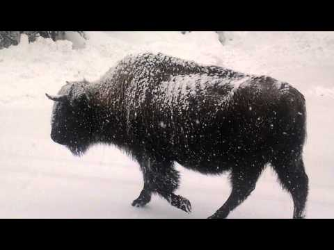 Bison leaving Yellowstone after earthquake