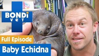 🦔 Baby Echidna Is Nearly Killed By Accident | FULL EPISODE | S08E03 | Bondi Vet