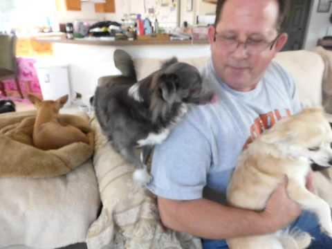 Chihuahua Adults for adoption Oregon