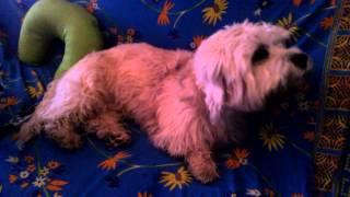 Dandie Dinmont Terrier singer