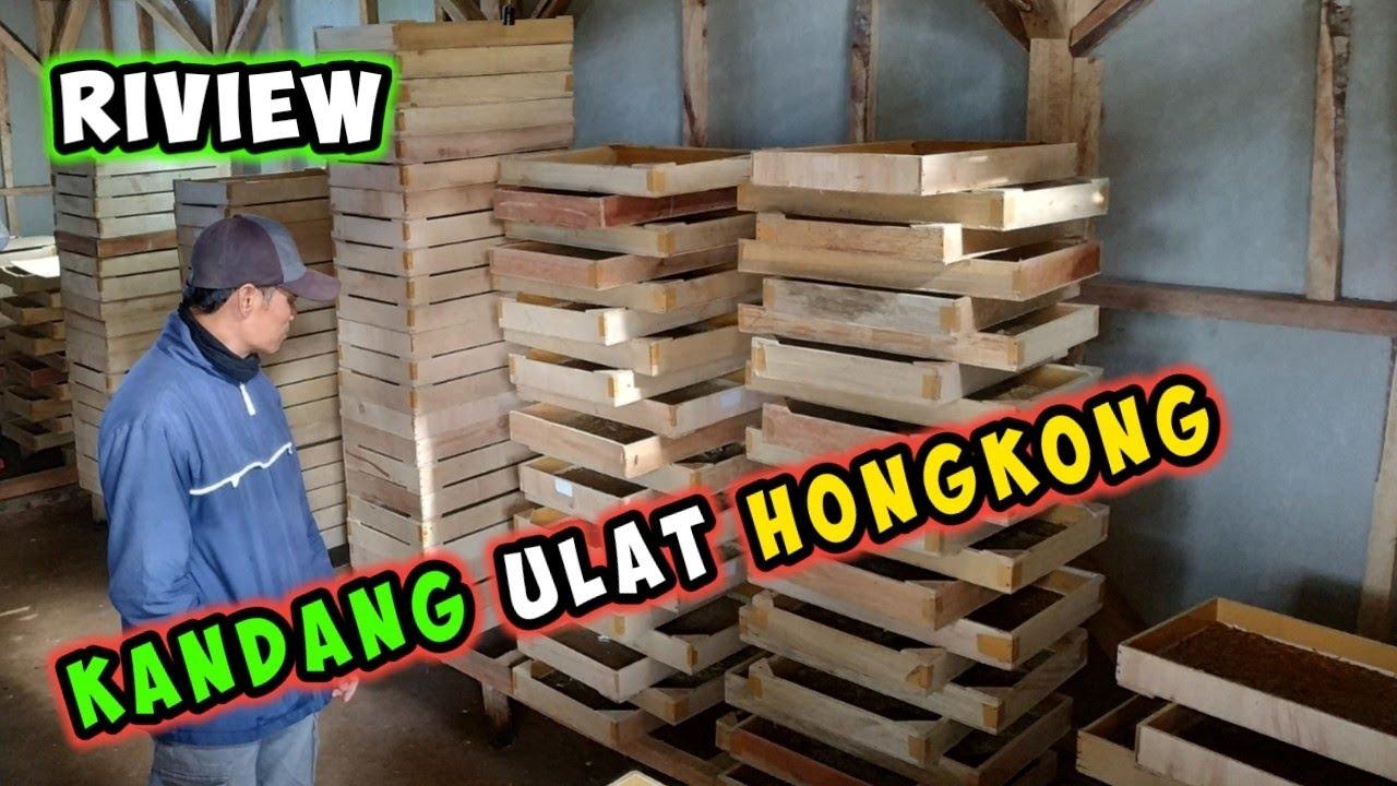 Contoh Kandang Ternak Ulat Hongkong Ulat Jerman Youtube