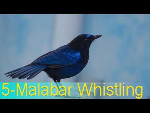 Top 10 birds sweet voice - sweet voice birds names