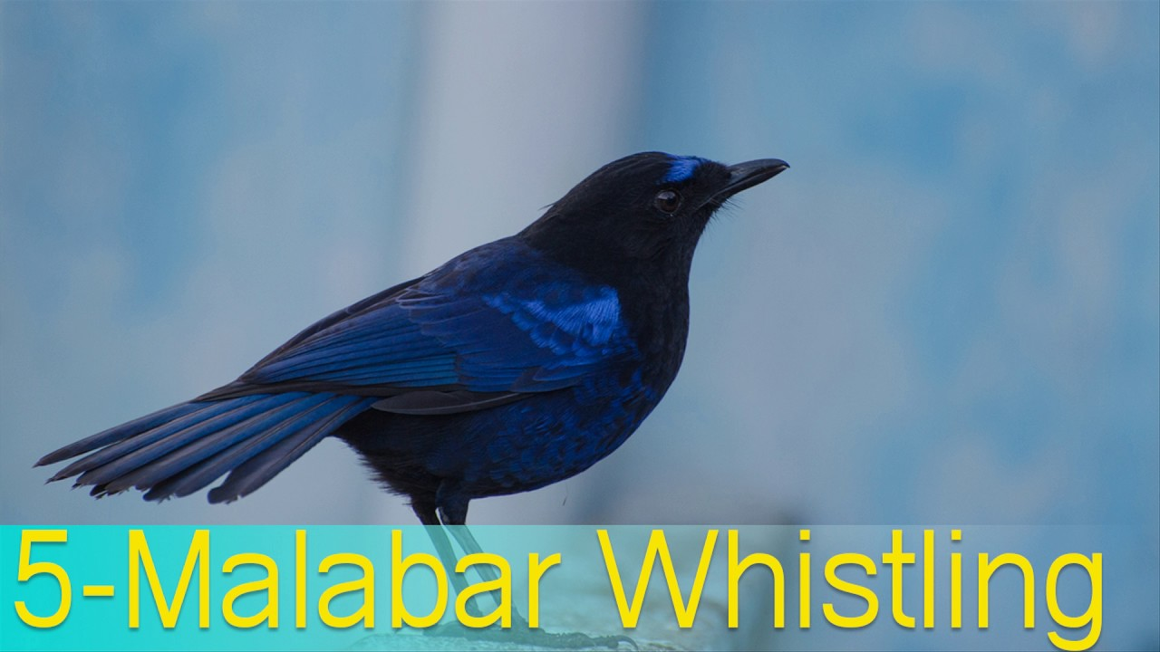 Blue Bird Names >> Top 10 Birds Sweet Voice Sweet Voice Birds Names Youtube