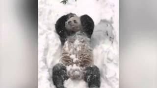 Зоопарк в Вашингтоне показал видео купающейся в снегу панды