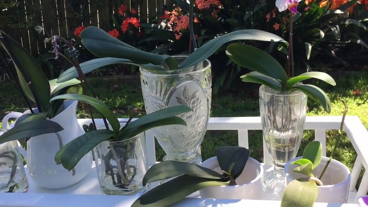 靜姐說花 7: 水培蝴蝶蘭的容器及清潔 - YouTube