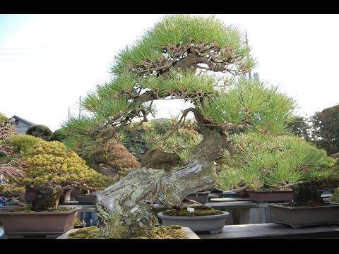 Japanese Red Pine (Yamadori)