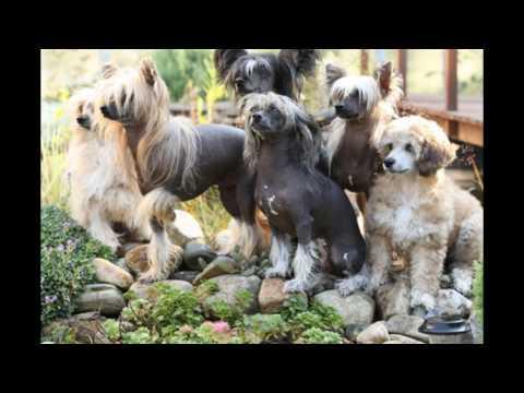 animals Chinese Crested Dog