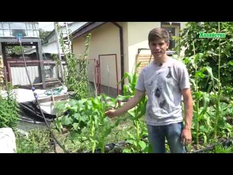 Как часто и сколько поливать кукурузу? Все о поливе кукурузы!