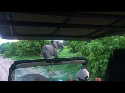 Elephant Charging - Chobe National Park (Botswana)